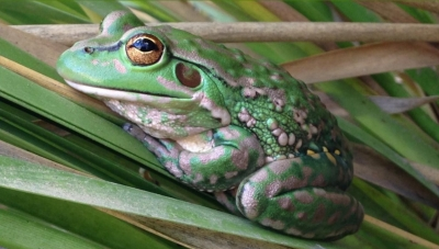 The fascinating tale of the Yellow-spotted Bell Frog